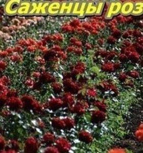 Грибы Вешенка в мешках. Розы