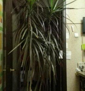Растение комнатное Драцена