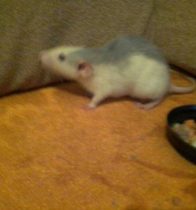 Крыска..4 месяца.