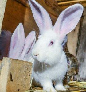 Молодняк кроликов крупной породы