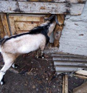 Альпонубийский козёл покрытие