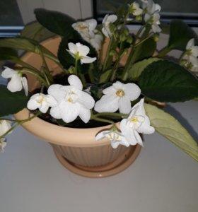 Цветы Фиалка белая