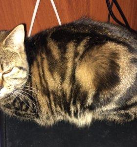 Кошечка британка молодая, ищет кота для вязки