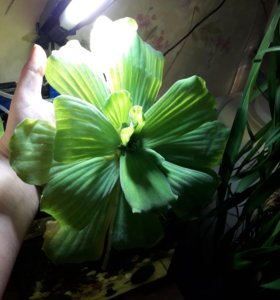 Растение на поверхность воды