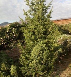 Новогодние живые елки (Пихта).