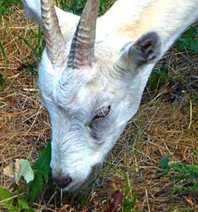 Коза молочная 8 месяцев