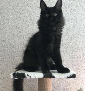 Котята мейн кун из профессионального питомника.