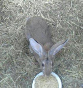 Продаются кролики породистые Спасский район.