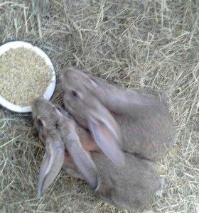 Продаются кролики породистые. Спасский район.