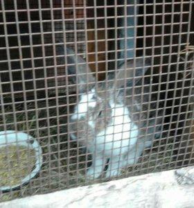 Продаются кролики 3 месяца. Порода великан.