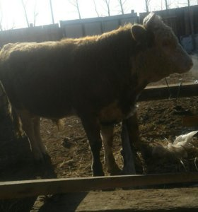 Продаю быка