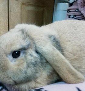 Вислоухий декоративный кролик
