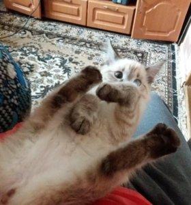 Кошечка сиамская