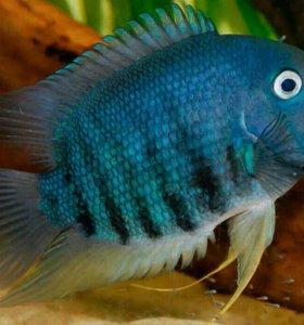 Северум голубой изумруд
