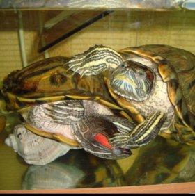 Аквариум с красноухими черепахами (с тумбой)
