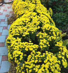Хризантема низкорослая мелкоцветковая