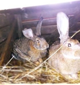 Кролы фландры