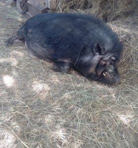 Услуги борова.крупный кореец,накроет свинку.