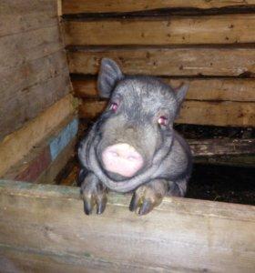 Семья свиноматка и 1поросеночек.