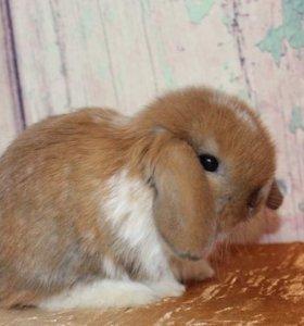 Карликовые крольчата из питомника