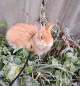 Сиамская крольчиха