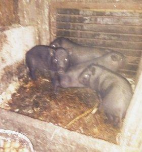 Въетнамские вислобрюхие свиньи