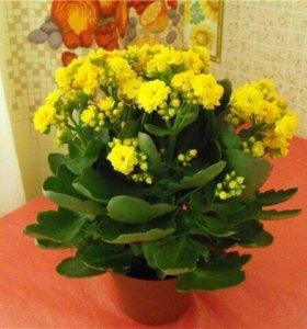 продам цветок.