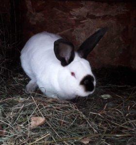 Кроль Калифорния кролик