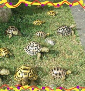 сухопутные черепахи