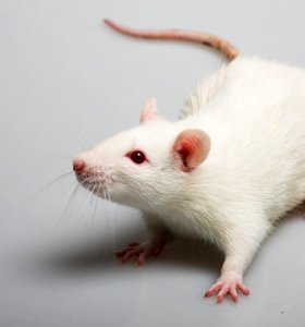 Кормовые грызуны (крысы, крысята)