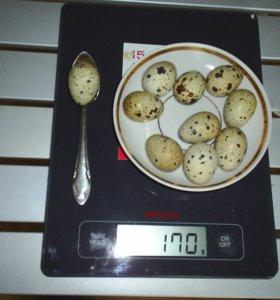 Инкубационное яйцо перепелов Белый гигант