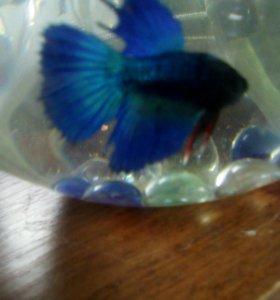Рыбка петушок + аквариум