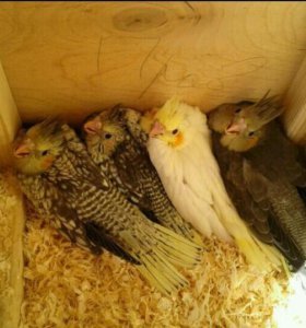 Домашние птенчики Нимфа Корелла