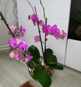 Продам композицию из орхидей с домашней коллекции