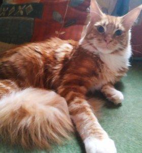 Мейн Кун, котик