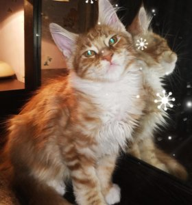 Котенок Мейн Кун, 3 месяца