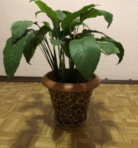 Продам цветок Спатифиллум