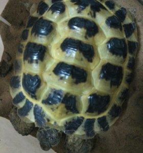 Сухопатная черепаха