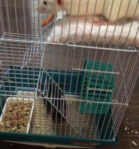 Крысы декоративные