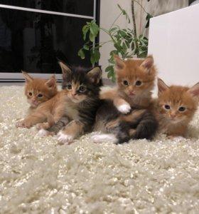 Клубные Котята Мейн-куна