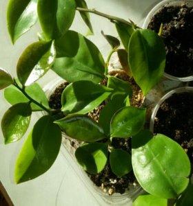 Переския листовидный кактус