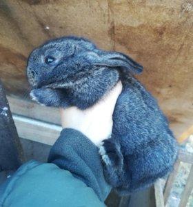Кролики великан