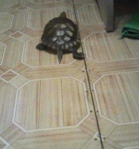 Кросноухая черепаха