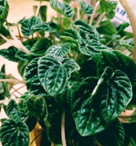 Пеперомия Лилиан черенки (листья)