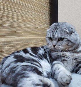 Продаётся!Шотландский вислоухий кот