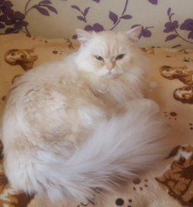 Вязка с породистым шотландским котом
