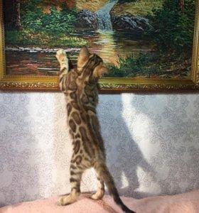 Котята леопардовые с документами