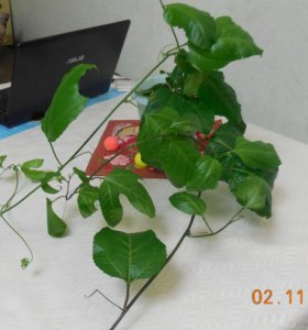 Продам цветок Маракуйя
