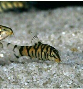 Аквариумные рыбки Боция Мраморная