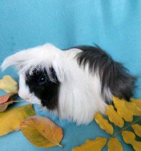 Перуанский свин